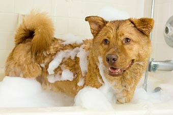 Dog Grooming, dog getting bath.
